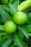Onrijpe groene sinaasappelen op een boom Stock Afbeeldingen
