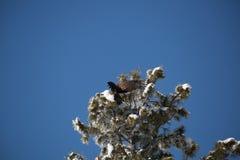 Onrijpe kale adelaar die op een sneeuw behandelde boom landen stock afbeelding