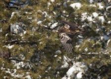 Onrijpe kale adelaar tijdens de vlucht voor sneeuw behandelde boomtakken stock foto