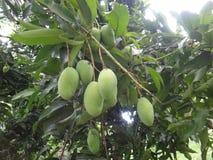 Onrijpe mango's op een mangoboom [indica Mangifera] Royalty-vrije Stock Foto