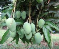 Onrijpe mango's op een mangoboom [indica Mangifera] Stock Foto