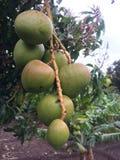 Onrijpe mangovruchten Stock Foto's