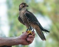 Onrijpe peregrine valk op falconer& x27; s hand stock afbeelding