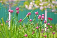 Onrijpe roze knoppen van decoratief knoflookallium in de tuin op de achtergrond van groen en een bloeiende appelbomen stock afbeelding