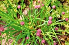 Onrijpe roze knoppen van decoratief knoflookallium in de tuin op de achtergrond van groen, hoogste mening stock afbeelding