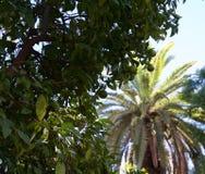 Onrijpe sinaasappelen op boom met palm op achtergrond stock foto