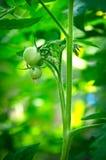 Onrijpe tomaten op de struik Stock Foto