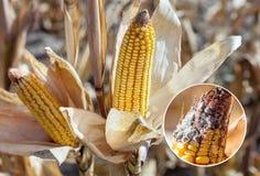 Onrijpe, zieke en beschimmelde maïskolf op het gebied, close-up stock afbeeldingen