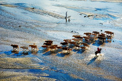 The onrushing cattle and harder in river Stock Images