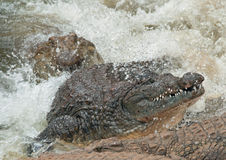 An onrushing crocodile Royalty Free Stock Image