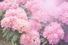 Onscherpe rododendron Royalty-vrije Stock Afbeeldingen