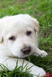 Onschuldig Puppy dat Camera onder ogen ziet Stock Fotografie