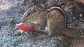 Onschuldige eekhoorn die een appel eten royalty-vrije stock foto