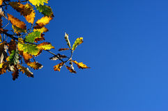 Onset of Autumn. Autumn leaves shot against a bright blue sky Stock Photos