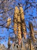 Ontano, albero di alnus che sboccia nel Central Park in Manhattan a New York, NY Fotografie Stock