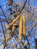 Ontano, albero di alnus che sboccia nel Central Park in Manhattan a New York, NY Fotografia Stock