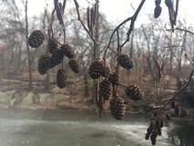 Ontano, alnus, albero con i gattini e coni nell'inverno in Central Park in Manhattan, New York, NY Immagini Stock