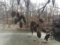 Ontano, alnus, albero con i gattini e coni nell'inverno in Central Park in Manhattan, New York, NY Immagini Stock Libere da Diritti