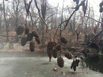 Ontano, alnus, albero con i gattini e coni nell'inverno in Central Park in Manhattan, New York, NY Fotografie Stock