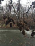Ontano, alnus, albero con i gattini e coni nell'inverno in Central Park in Manhattan, New York, NY Fotografia Stock