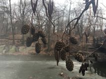 Ontano, alnus, albero con i gattini e coni nell'inverno in Central Park in Manhattan, New York, NY Immagine Stock
