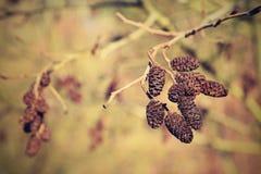 Ontano con i gattini Bello fondo variopinto naturale con l'albero ed i rami Corylus avellana fotografia stock libera da diritti