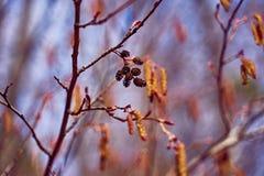 Ontano di fioritura in primavera immagine stock