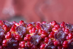 Ontano rosso - alnus rubra - flusso maschio Fotografie Stock Libere da Diritti