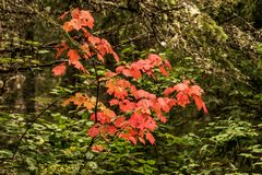 Ontario Algonquin National Park colorful trees and maple leaves with colorful vegetation fall time called Indian summer. Ontario Algonquin National Park colorful royalty free stock images