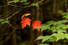 Ontario Algonquin National Park colorful trees and maple leaves with colorful vegetation fall time called Indian summer. Ontario Algonquin National Park colorful stock photo