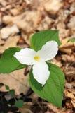 Ontario płatków zieleni Małomiasteczkowy kwiat Ochraniający Biali liście Fotografia Stock