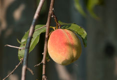 Ontario peach ( Prunus persica) Royalty Free Stock Photography