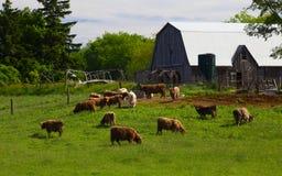 Ontario-Vieh-Bauernhof Lizenzfreie Stockbilder