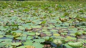 Ontdek de lotusbloemvijver in de zomer stock footage