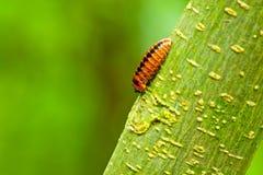 Ontdekking van nieuw insect bij phu-hin-rong-Kra, Thailand Stock Afbeelding