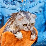 Ontevreden natte kat na was in badkamers stock afbeeldingen