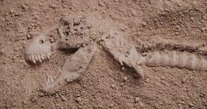 Ontgravende dinosaurusfossielen stock footage