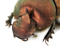 Onthophagus coenobita Royalty Free Stock Photography