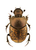 Onthophagus fracticornis Stock Photos