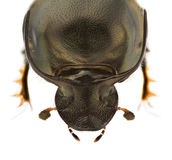 Onthophagus illyricus. A male of Onthophagus illyricus, dung beetle, isolated on a white background royalty free stock images
