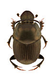 Onthophagus illyricus. A male of Onthophagus illyricus, dung beetle, isolated on a white background stock photo