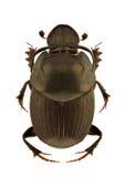 Onthophagus illyricus Stock Photo
