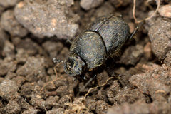 Onthophagus joannae dung beetle Royalty Free Stock Images