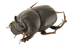 Onthophagus kindermanni Stock Photos