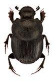 Onthophagus psychopompus. Female of Onthophagus psychopompus isolated on white background royalty free stock photography