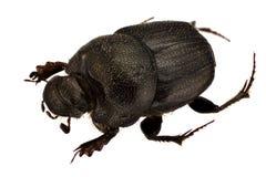 Onthophagus psychopompus. Female of Onthophagus psychopompus isolated on white background royalty free stock images