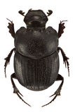 Onthophagus psychopompus. Male of Onthophagus psychopompus isolated on white background stock photo
