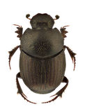Onthophagus ruficapillus Stock Images