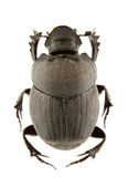 Onthophagus verticicornis Stock Photos