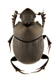 Onthophagus verticicornis Stock Photography